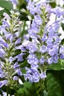 /Images/johnsonnursery/product-images/Agastache Acapulco Deluxe Dark Blue_zw4pt2xh0.jpg
