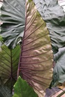 /Images/johnsonnursery/product-images/Alocasia_Sumo_k4w2mbv32.jpg