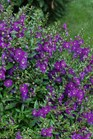/Images/johnsonnursery/product-images/Angelonia Angelface Blue MI13_dqe8t077u.jpg