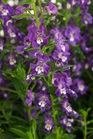 /Images/johnsonnursery/product-images/Angelonia Angelface Super Blue_pxezhpls1.jpg