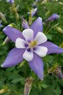 /Images/johnsonnursery/product-images/Aquilegia Origami Blue and White2040116_1bt20w1hd.jpg