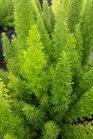 /Images/johnsonnursery/product-images/Asparagus_densiflorus2042716_mct0uxu96.jpg
