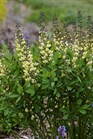 /Images/johnsonnursery/product-images/Baptisia Vanilla Cream_r5q4am5ho.jpg