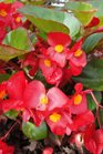 /Images/johnsonnursery/product-images/Begonia Big Red with Green Leaf071413_tv8lopwct.jpg
