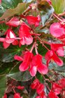 /Images/johnsonnursery/product-images/Begonia Whopper Red Bronze2091616_qkqqxab0f.jpg