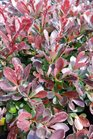 /Images/johnsonnursery/product-images/Berberis Cabernet3042116_g5u99d2lv.jpg
