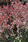 /Images/johnsonnursery/product-images/Berberis Royal Burgundy_n2otf6sl6.jpg