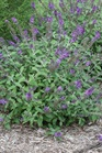/Images/johnsonnursery/product-images/Buddleia Blue Chip JR_iax7jaim3.jpg