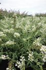 /Images/johnsonnursery/product-images/Buddleia Flutterby Petite Snow White072313_sw53rftu2.jpg
