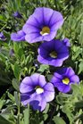 /Images/johnsonnursery/product-images/Calibrachoa Callie Light Blue2040913_pvd91lkez.jpg