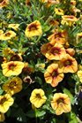 /Images/johnsonnursery/product-images/Calibrachoa Spicy3062613_p7xxnuf46.jpg
