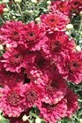 /Images/johnsonnursery/product-images/Chrysanthemum Pavia Red091713_p8989lx60.jpg