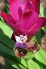 /Images/johnsonnursery/product-images/Curcuma Siam Sunset_2mhha07hk.jpg