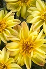 /Images/johnsonnursery/product-images/Dahlia Dahlightful Tupelo Honey_wr35wlb3k.jpg