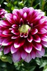 /Images/johnsonnursery/product-images/Dahlia Dalina Grande Cancun_fhrfvglft.jpg
