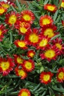 /Images/johnsonnursery/product-images/Delosperma Wheels of Wonder Fire_uu04nvprl.jpg