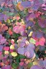 /Images/johnsonnursery/product-images/Fothergilla_Legend_of_the_Fall_1_1080_1080_60_8f5prqaig.jpg