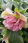/Images/johnsonnursery/product-images/Helleborus Maid of Honor2010517_k0g2kvq87.jpg