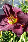 /Images/johnsonnursery/product-images/Hemerocallis Nosferatu062016_tas8fnni7.jpg