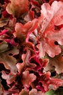/Images/johnsonnursery/product-images/Heuchera Dolce Cinnamon Curls - PW_o4xsjfqb8.jpg