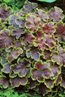 /Images/johnsonnursery/product-images/Heucherella Solar Eclipse_04sk1edf5.jpg