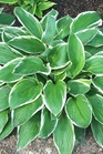 /Images/johnsonnursery/product-images/Hosta Francee050505_0ggwb3aj0.jpg