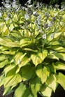 /Images/johnsonnursery/product-images/Hosta Pauls Glory060211_c8cxc6tev.jpg