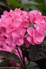 /Images/johnsonnursery/product-images/Hydrangea Abracadabra Orb_x5eised6p.jpg
