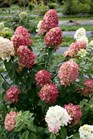 /Images/johnsonnursery/product-images/Hydrangea Fire Light 3_trcjist0x.jpg