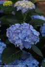 /Images/johnsonnursery/product-images/Hydrangea Lets Dance Blue Jangles_8blcowulq.jpg