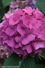 /Images/johnsonnursery/product-images/Hydrangea Lets Dance Rave_i8bbzukwi.jpg