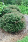 /Images/johnsonnursery/product-images/Ilex Bordeaux071403_so81m9i8t.jpg