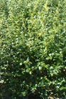 /Images/johnsonnursery/product-images/Ilex China Girl_ml2hm28i8.jpg