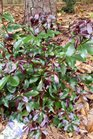 /Images/johnsonnursery/product-images/Illicium Purple Glaze052116_wckjg1p7c.jpg