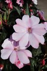 /Images/johnsonnursery/product-images/Impatien Sunpatien Compact Blush Pink061213_k1wm3mv0x.jpg