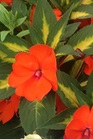 /Images/johnsonnursery/product-images/Impatien Sunpatien Spreading Tropical Orange_s44hfr9wa.jpg