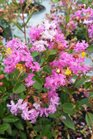 /Images/johnsonnursery/product-images/Lagerstroemia Infinitini Orchid071116_kdfweeuao.jpg