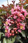 /Images/johnsonnursery/product-images/Lagerstromia Coral Magic3062413_4onz15n8k.jpg