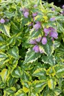 /Images/johnsonnursery/product-images/Lamium Anne Greenway2040816_9vdz4l8n0.jpg