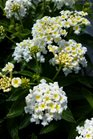 /Images/johnsonnursery/product-images/Lantana Bandana White2041416_2r877ugei.jpg