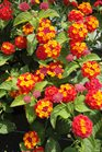 /Images/johnsonnursery/product-images/Lantana Citrus Blend2062113_5668vp7i0.jpg