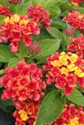 /Images/johnsonnursery/product-images/Lantana Florida Mound Red3062113_7i705b8zt.jpg