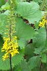 /Images/johnsonnursery/product-images/Ligularia The Rocket_8nw5n79sb.jpg