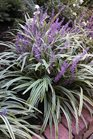 /Images/johnsonnursery/product-images/Liriope Variegata2091613_ms4m83gfd.jpg