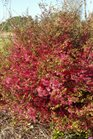 /Images/johnsonnursery/product-images/Loropetalum Daruma032316_iaxmxx5i8.jpg