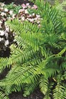 /Images/johnsonnursery/product-images/Macho Fern landscape_9bh7k83la.jpg