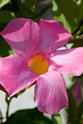 /Images/johnsonnursery/product-images/Mandevilla Sun Parasol Pretty Pink_ghrkvlgir.jpg