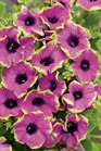 /Images/johnsonnursery/product-images/Petunia Pretty Much Picasso - PW_kcg4pbvh9.jpg