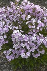 /Images/johnsonnursery/product-images/Phlox Opening Act Blush_8rfa3fhur.jpg