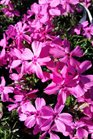 /Images/johnsonnursery/product-images/Phlox Red Wings011217_ft149wo8m.jpg